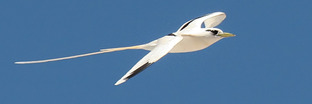 Tropicbirds