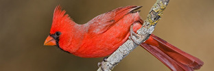 Cardinals, Grosbeaks, and Buntings