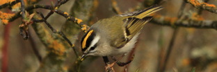 Kinglets