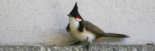 Bulbuls