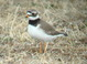 This female Common Ringed Plover was taken at Gambell, St. Lawrence Island, Alaska in early June 2007.