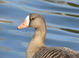 Greater White-fronted Goose at Westmoreland Park (Portland), April 2010