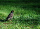 Typical Honolulu Myna; these guys own the islands!