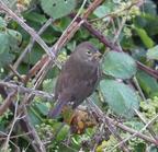 Foxsparrow4