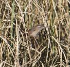Marshwren