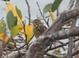 Savannah Sparrow, Yaquina Bay at HMSC, 11-06-2010