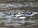 Bufflehead, North Siletz Bay, 12-30-2010