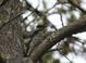 Hairy Woodpecker, Whalen Island, 09-21-2010