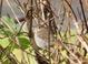 Hermit Thrush, Fogarty Creek, 12-19-2010