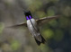 Black-chinned Hummingbird hovering near a feeder on my deck. A rare glimpse of the iridescent purple chin.