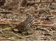 This Sooty Fox Sparrow was along Rentenaar Rd., Sauvie Island, Columbia County, Oregon 19 March 2011
