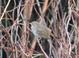 Hermit Thrush, Lincoln City, OR 3-05-2011