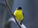 Lesser Gold Finch, adult male, early February