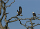 Bald eagle pair near lower Tuolumne River, CA, early February