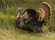 Wild Turkey tom in courtship display, Sierra foothills, late March