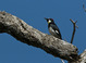 Acorn Woodpecker, female, Sierra foothills, mid-April