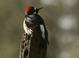 "Acorn Woodpecker female on ""pecked"" fence post, Sierra foothills, late March"