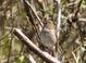 Hermit Thrush, Salishan Nature Trail, Siletz Bay, 4-23-2011