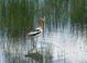 American Avocet, Ladd Marsh Wildlife Area, 2007