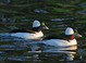 Bufflehead Pair taken at Crystal Springs Rhododendron Park, Portland, Oregon, by Dan Mitchell on 1/28/07