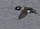 Female Bufflehead Flying taken in Tualatin Wetlands by Dan Mitchell on 3/21/09.