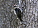 Juvenile Hairy Woodpecker, Whalen Island, Tillamook Cnty, 8-17-2011