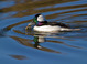 Male Bufflehead with Crab at San Elijo Lagoon, San Diego County 5 Jan 2010