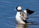 Male Bufflehead at San Elijo Lagoon, San Diego County 31 Jn 2008