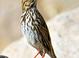 savannah Sparrow at San Elijo Lagoon, San Diego County 2 Jan 2008
