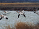 American Avocets taken in Tule Lake National Wildlife Refuce, California by Dan Mitchell during April 2003