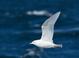Iceland (Kumlien's) Gull (third cycle), Mar 27, 2011, Freeport, NY Pelagic