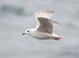 Iceland (Kumlien's) Gull (first cycle), Feb 5, 2010, Lewes, DE Pelagic