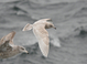 Iceland (Kumlien's) Gull (first cycle), Jan 17, 2010, Freeport, NY Pelagic