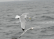 Black-legged Kittiwake (winter adult), Jan 17, 2010, Freeport, NY Pelagic
