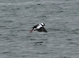 Bufflehead coming in for a landing, HMSC, 2-15-2011