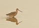 Marbled Godwit taken at Arcata Marsh in California.