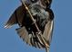 Brown-headed Cowbird displaying at the Riparian Reserve at Gilbert Water Ranch in Gilbert Arizona.