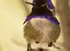 Costa's Hummingbird at the Arizona Sonora Desert Museum in Tucson Arizona