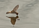 Cliff Swallow skimming the water at the Lower Klamath Wildlife Refuge in Northern California