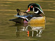 Wood Duck at the Crystal Springs Rhododendron Gardens in Portland Oregon.