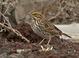 Savannah Sparrow at the Malheur Wildlife Refuge in Eastern Oregon.