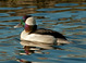Bufflehead at the Crystal Springs Rhododendron Garden in Portland Oregon.