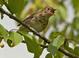 Swainson's Thrush eating a cherry at the Ridgefield Ntl Wildlife Refuge.