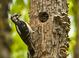 Hairy Woodpecker feeding a chick at the Ridgefield Ntl Wildlife Refuge.