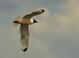 Franklin's Gull at the Malheur Ntl Wildlife Refuge in Eastern Oregon.