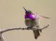 Male Costa's Hummingbird at Rancho Santa Fe, San Diego County 29 Apr 2009