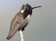Male Costa's Hummingbird at Rancho Santa Fe, San Diego County 11 May 2009