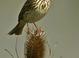 Savannah Sparrow at the Ridgefield National Wildlife Refuge in Ridgefield Washington.