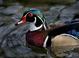 Wood Duck taken by Candi Mitchell