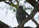 Adult Gray Hawk at Anzalduas County Park, Hildalgo County, Texas 7 November 2011.